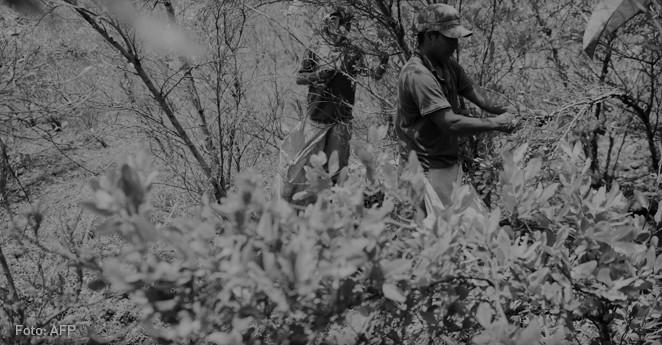Cultivos de coca en Colombia detienen su crecimiento: EE.UU.