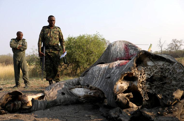 Tráfico de marfil aumenta caza ilegal de elefantes en África