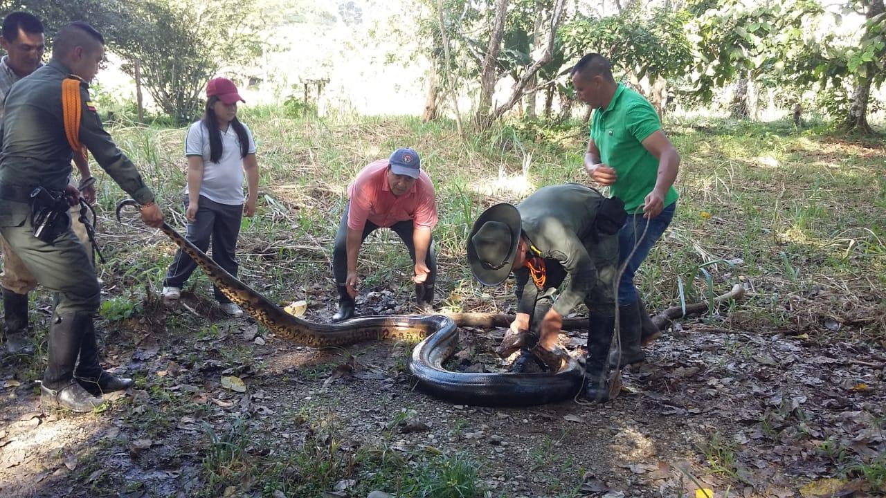Rescatan anaconda de ocho metros en el Amazonas
