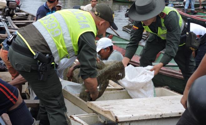 Incautan siete babillas muertas en el Amazonas