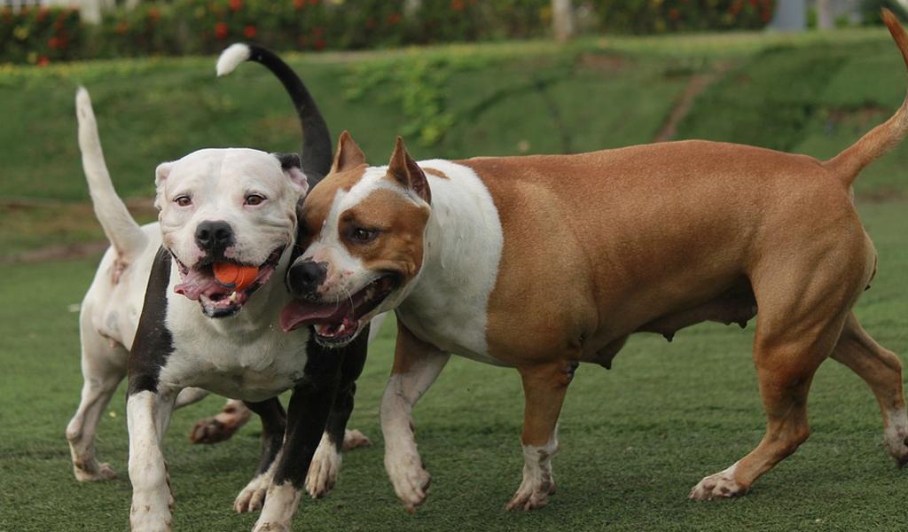 Perro callejero libera a un pitbull amarrado