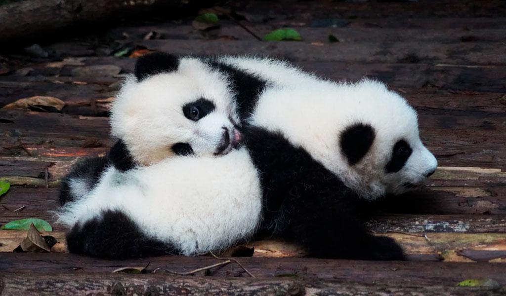 Nacen dos pandas gemelos en un zoológico de Bélgica