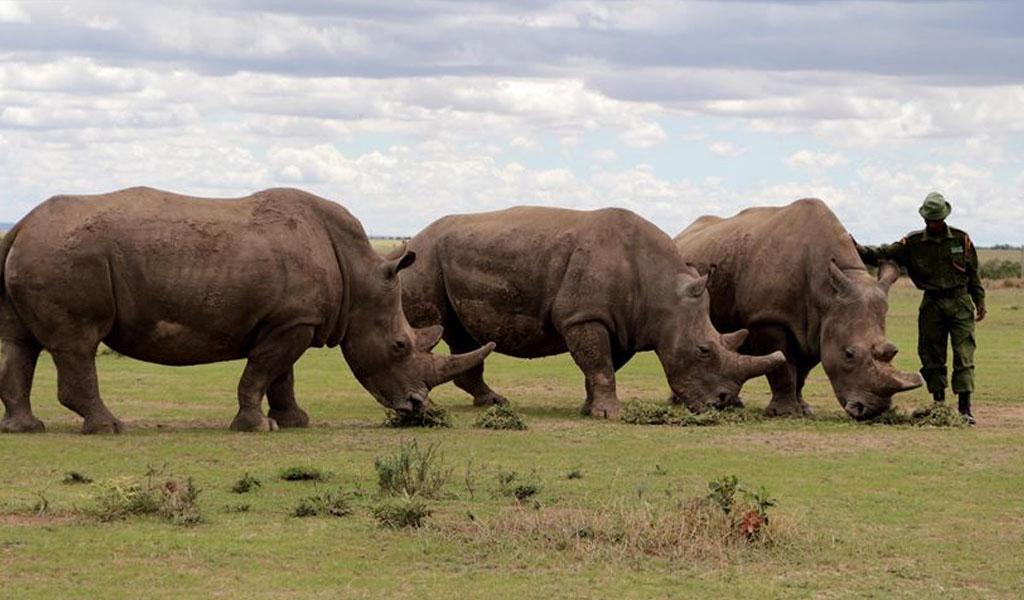 El rinoceronte blanco podría salvarse de la extinción