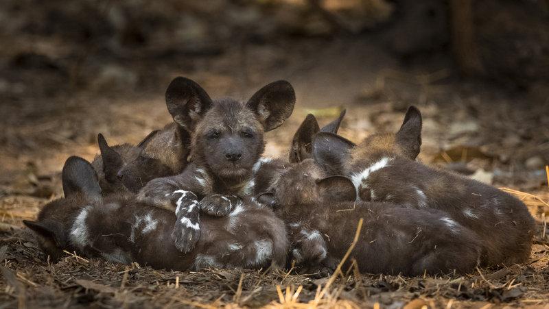 Mozambique recupera población de perros salvajes