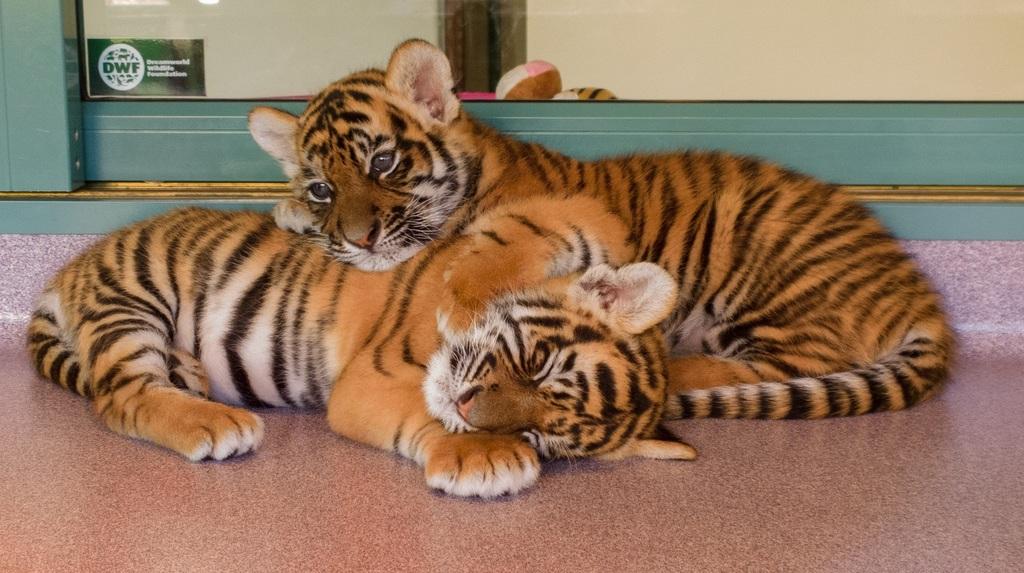 Asesinaron o traficaron 2.300 tigres en los últimos 19 años
