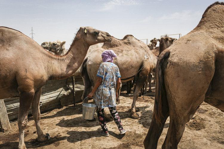Kazajistán cruza camellos en busca de uno mejor