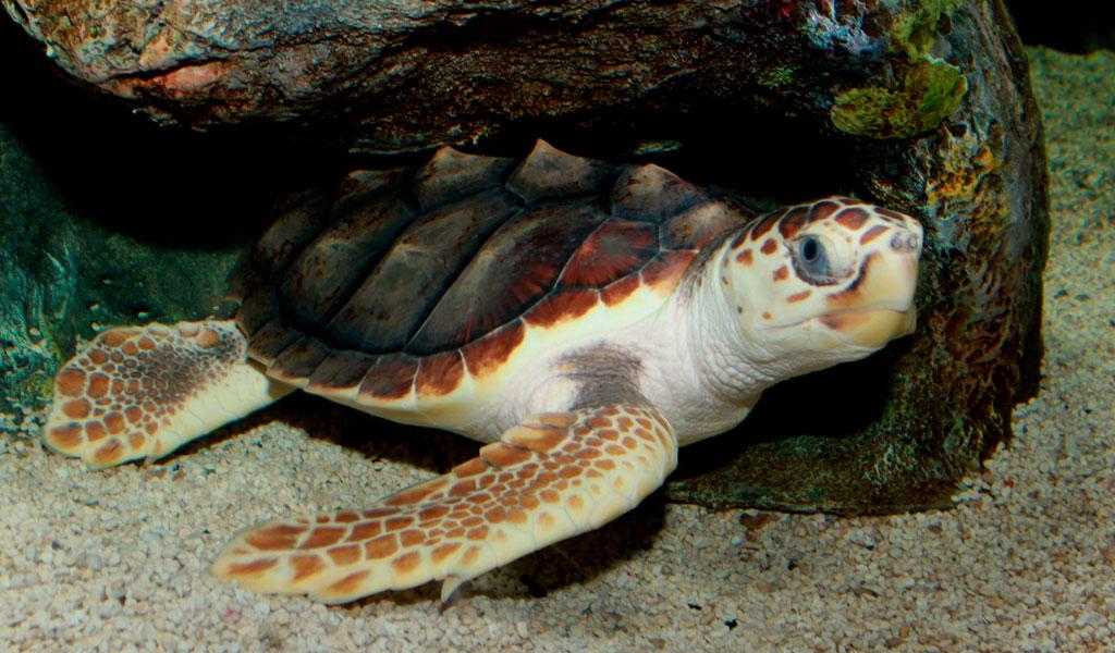 Liberan en el mar a tortugas en vía de extinción