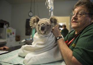 Virus en koalas muestra un cambio en la evolución