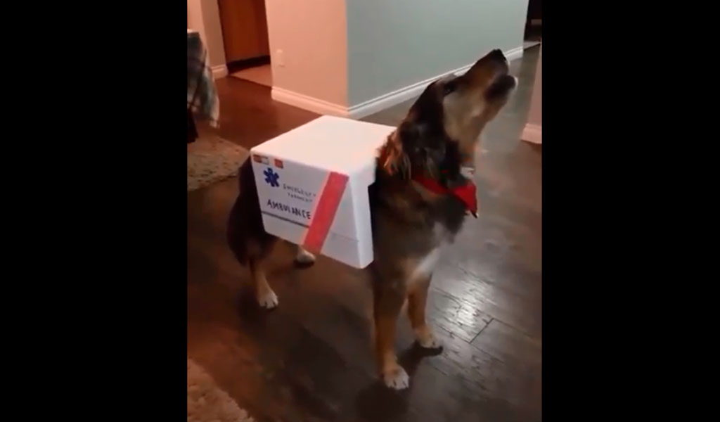 Disfrazan a perro como ambulancia e imita su sonido