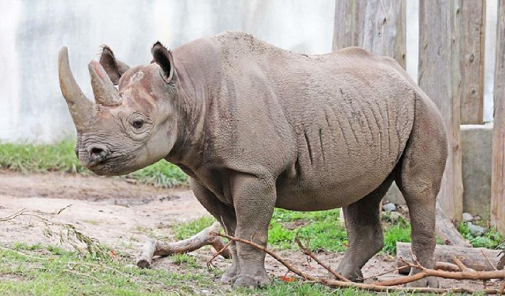 Embarazo de rinoceronte negra ilusiona futuro de su especie