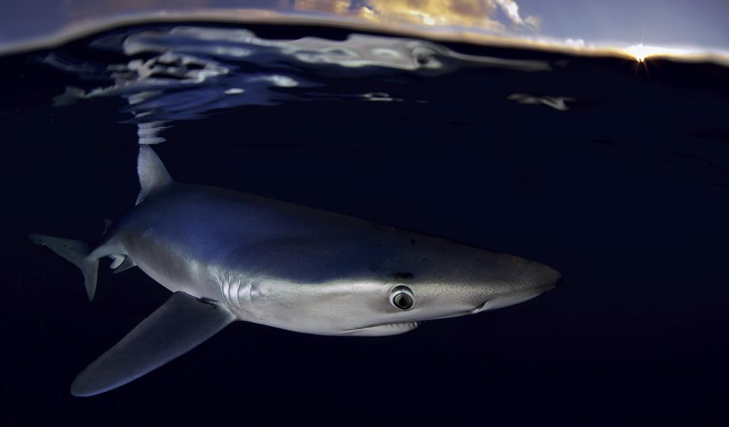 Polémica por resolución sobre aletas de tiburón