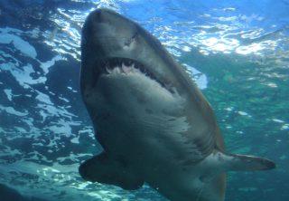 Tiburón blanco escapa de una manada de orcas