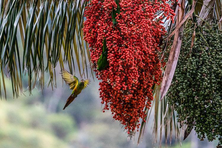Se apresuran en Colombia a proteger la palma de cera