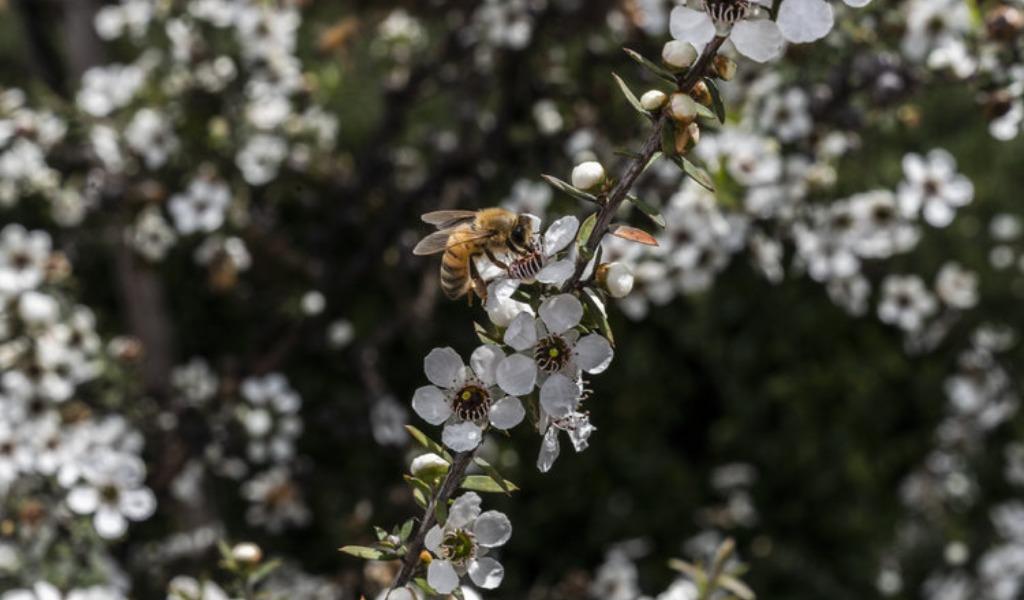 Australia y Nueva Zelanda están en guerra a causa de la miel