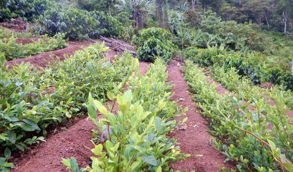 ONU analizará resiembra de cultivos ilícitos en Antioquia