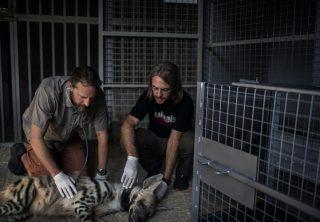 Hiena rayada en peligro de extinguirse por cacería