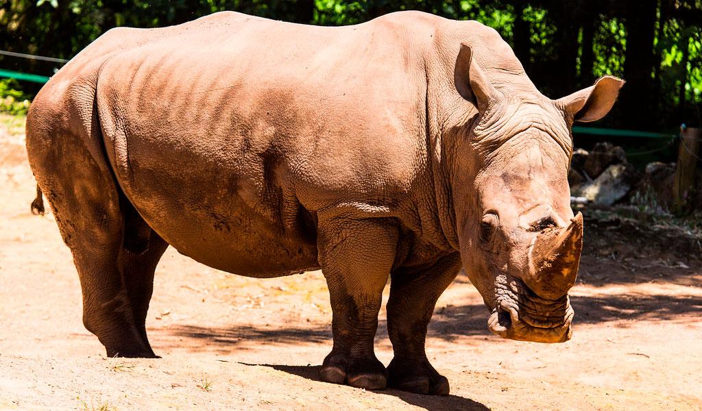 Científicos crean cuernos de rinoceronte