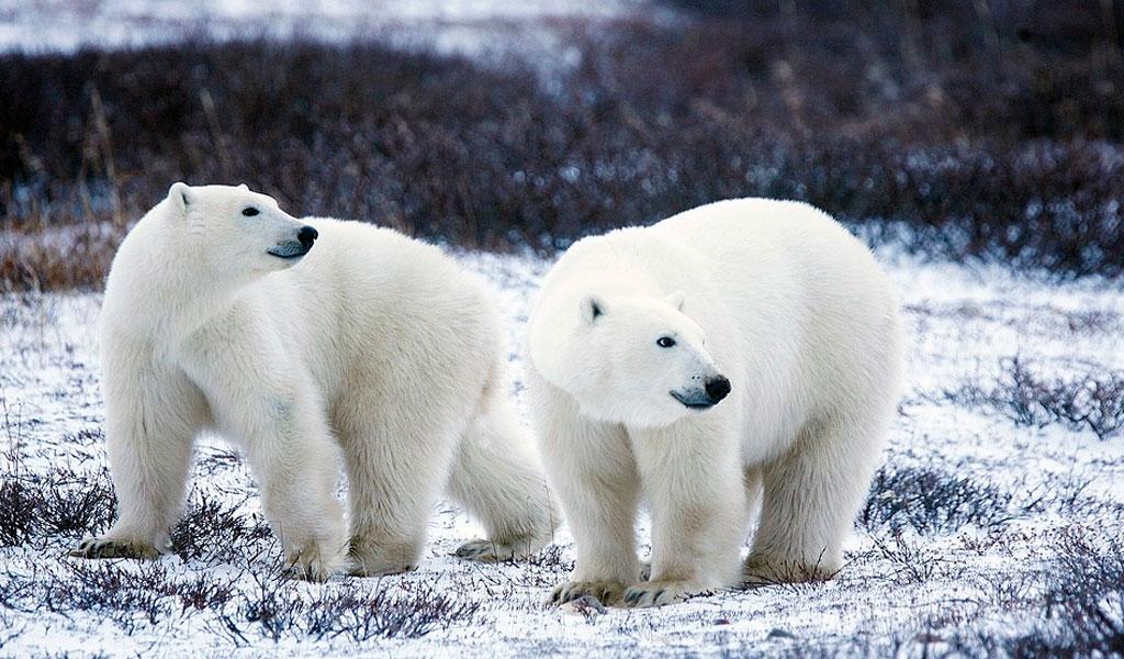 Preocupante cifra sobre osos polares