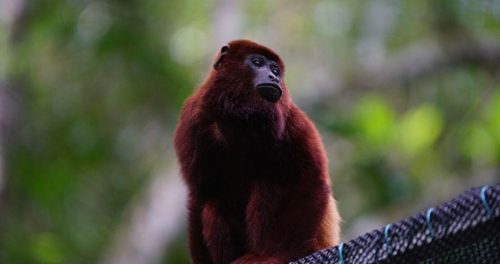 Monos aulladores fueron liberados en Magdalena Medio