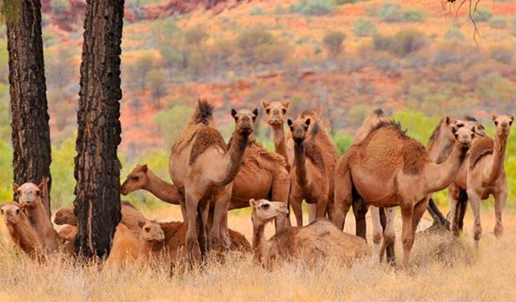 Sacrifican 5.000 camellos en Australia debido a la sequía